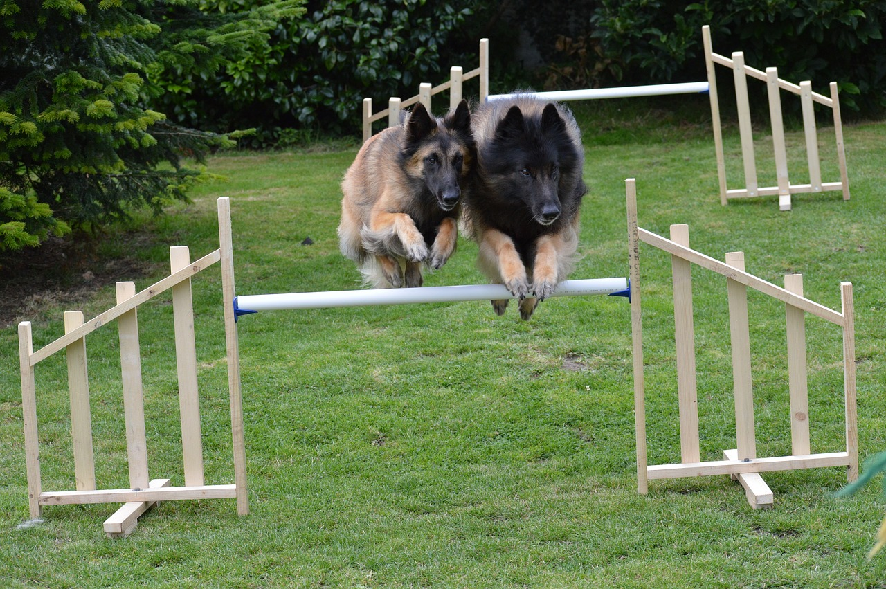 Photo of two dogs doing synchronised agility training